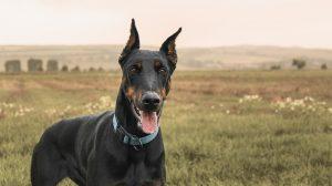 chien de catégorie 2
